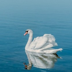 Biasiada - Białe Łabędzie